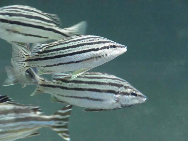 汽水域の魚