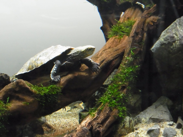 亀のレイアウト水槽のウィローモスも成長中