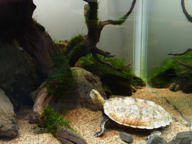 レイアウト水槽で暮らすニホンイシガメ