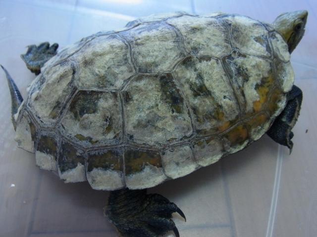 水カビにおかされたニホンイシガメの甲羅