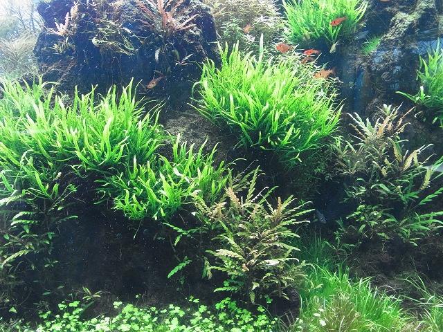 大量の陰性水草