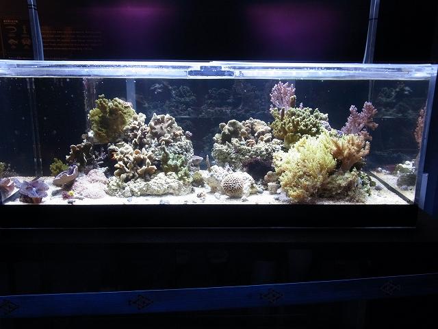 別のサンゴ水槽も