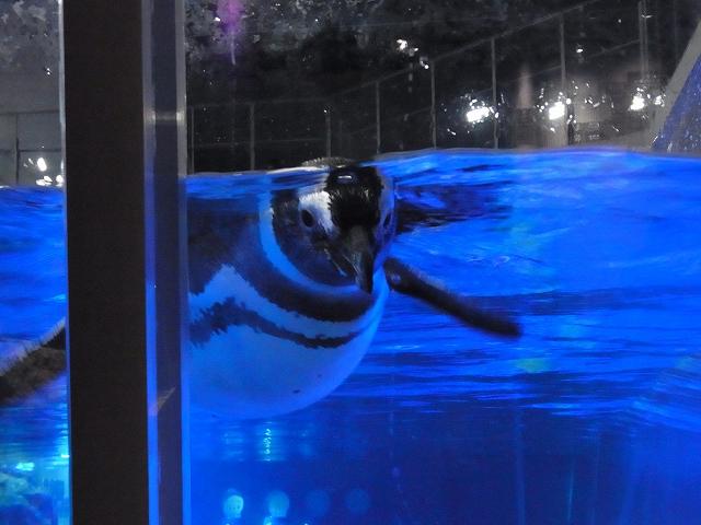 近づいてきたペンギン
