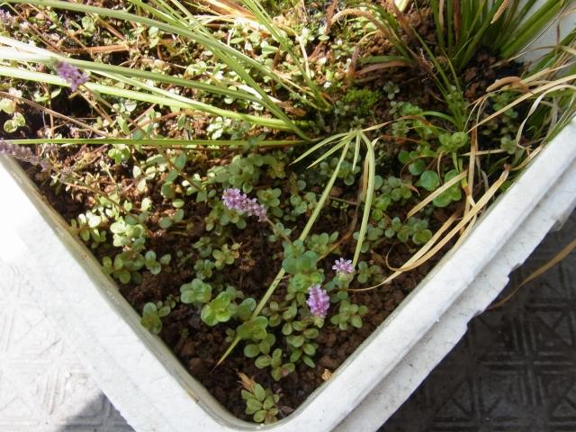 グリーンロタラやロトンジフォリア,グロッソスティグマやショートヘアーグラスなどが植えてある