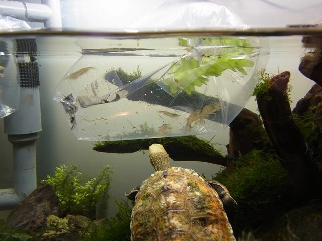 カメ水槽に餌用メダカ&ヤマトヌマエビ導入