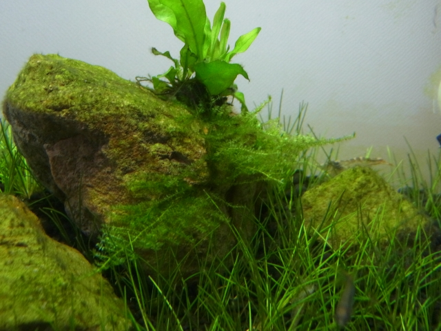 20cmキューブ水槽の水草と生体の変化