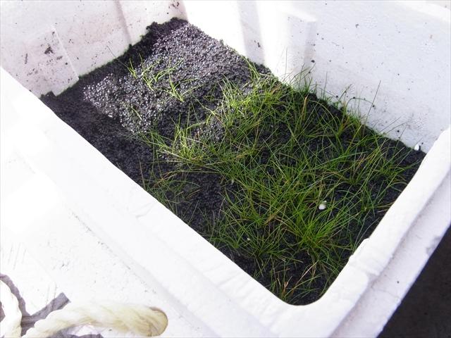 ショートヘアーグラスの水上栽培