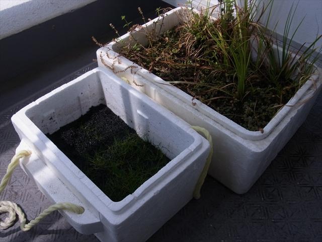 植栽から1ヶ月半が経過した水草水上葉