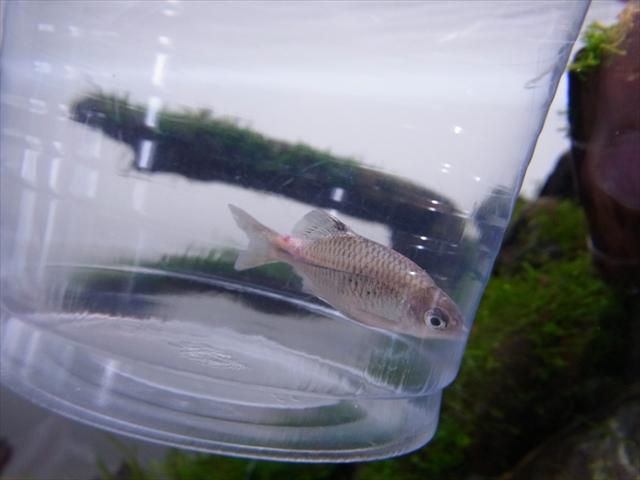 観賞魚のエロモナス感染症(赤斑病)の原因・症状と効果的な治療法