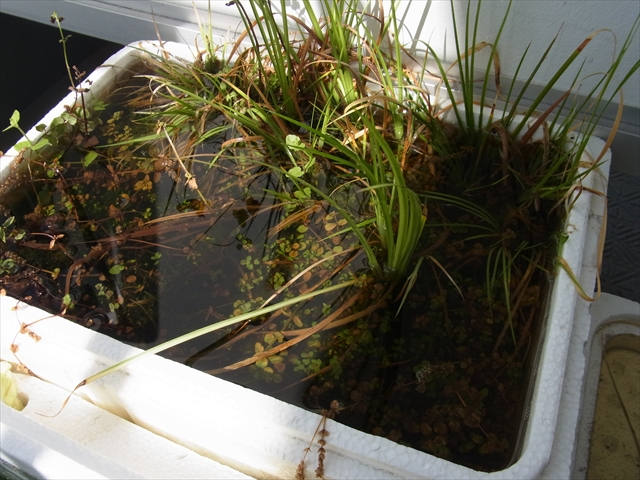 ロタラ系の水上栽培容器が水浸し
