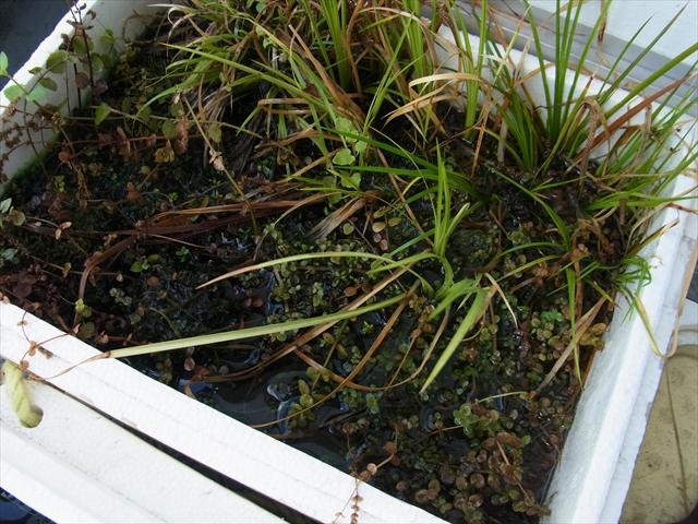 ロタラ系の水上栽培