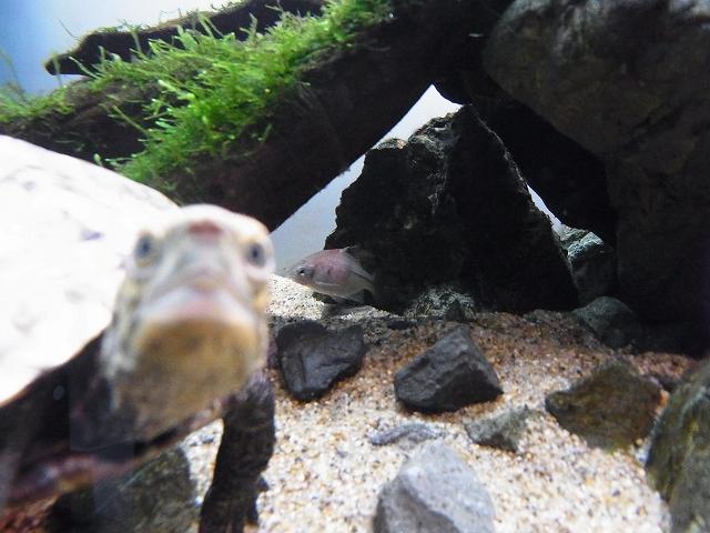 カメとタナゴはかなり遠い距離感