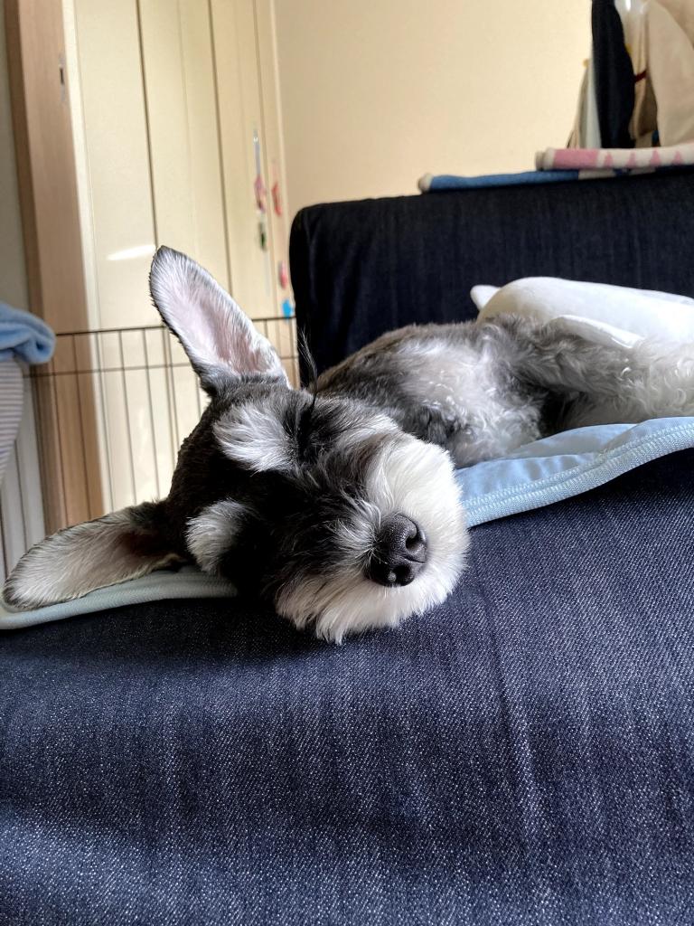 ソファで眠るわんこ