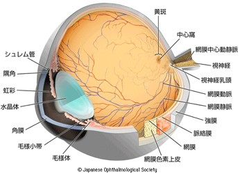 眼球全体像.jpg