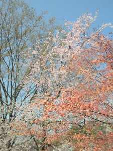 モミジと桜の2ショット