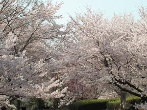 桜モリモリ