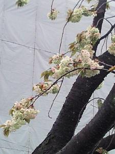 緑の桜、真ん中はピンク色