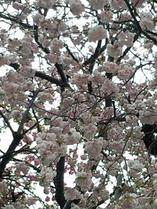 ポップコーンのような桜