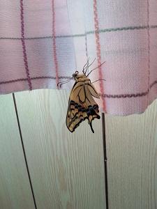 毒葉から生還し、見事チョウになったキアゲハくん