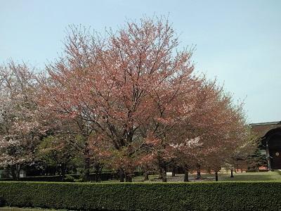 うす曇りと桜1