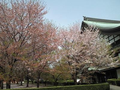うす曇りと桜2