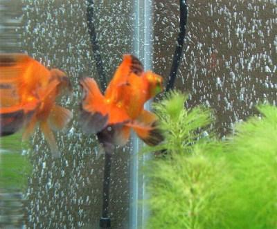 金魚水槽の水草2