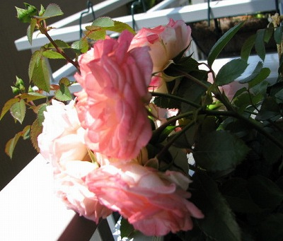 バラ爆開花1