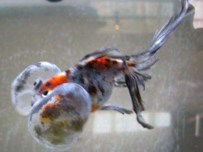 銀杏の泳ぎ1