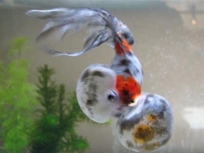 銀杏の泳ぎ2