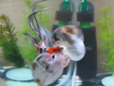 銀杏の泳ぎ3