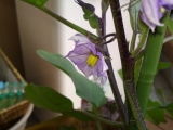 ナスの花?