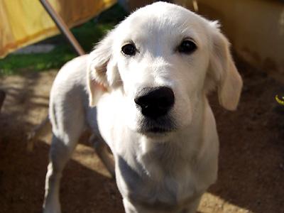 英国ゴールデン子犬
