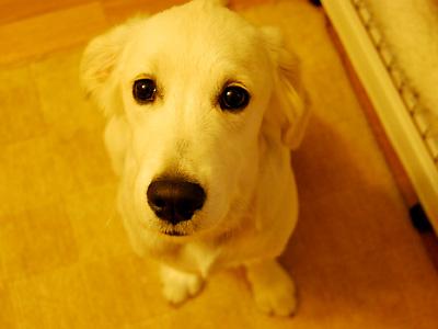 英国ゴールデンの子犬
