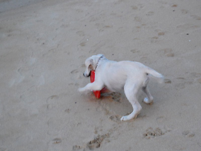 英国ゴールデンレトリバーの子犬