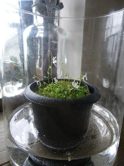 こう見えても食虫植物。