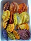 カラフルな緋扇(ひおうぎ)貝