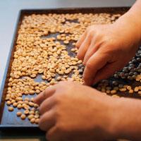 ハンドピックで欠点豆を取り除きます