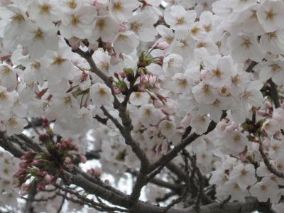 桜2009033101