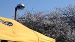 球場前の桜