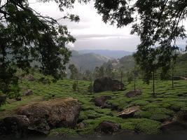 モナール 茶畑
