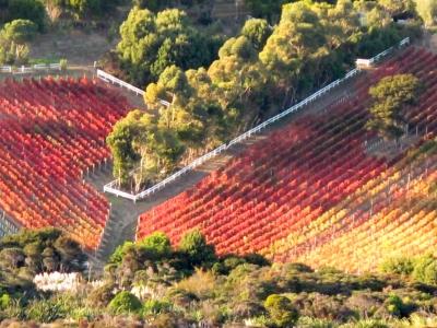 秋のビンヤード
