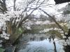 090416桜1