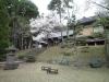 土津神社のさくら2