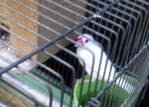 東中野の文鳥さん