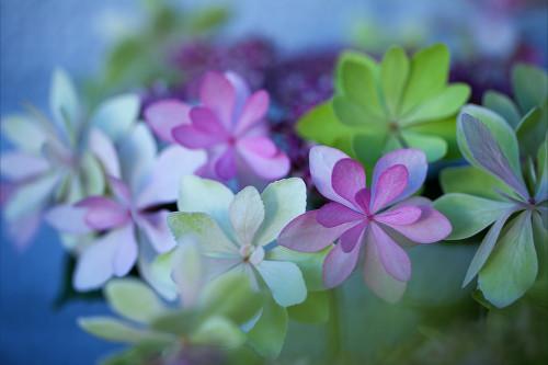 8287紫陽花.jpg