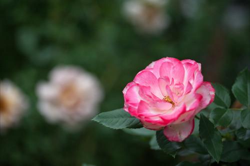8337薔薇.jpg