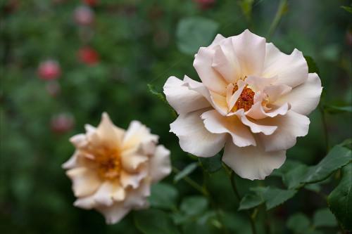 8341薔薇.jpg