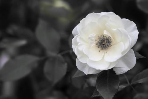 8347薔薇1.jpg
