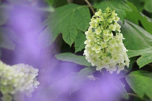 6021紫陽花.jpg