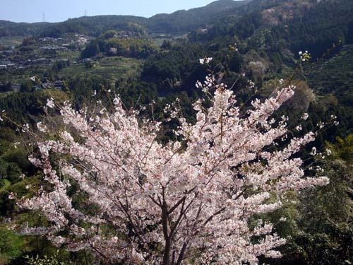 再起動の桜